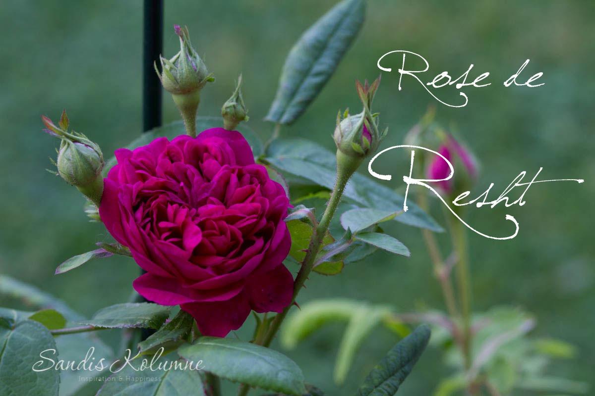 Rose de Resht 3