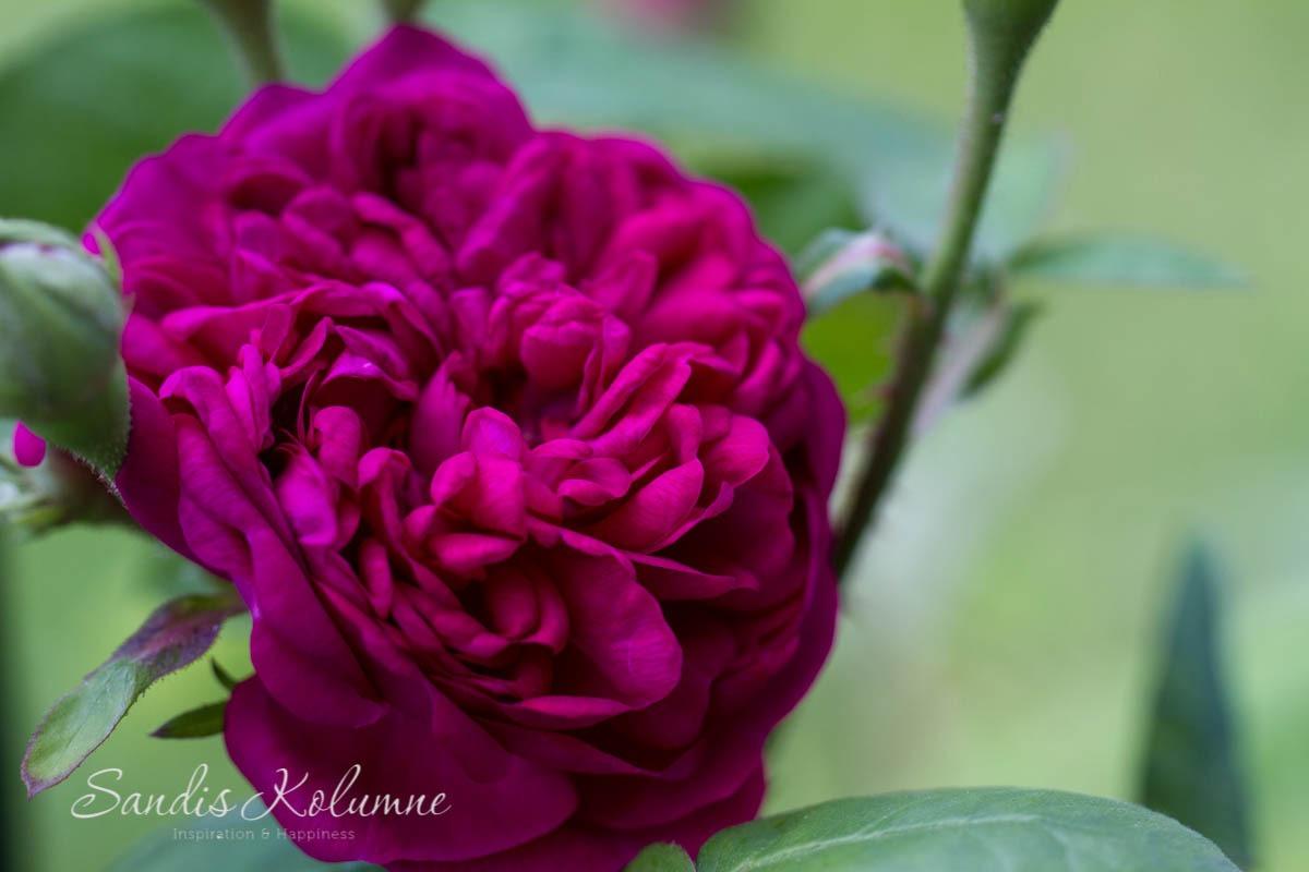 Rose de Resht 4