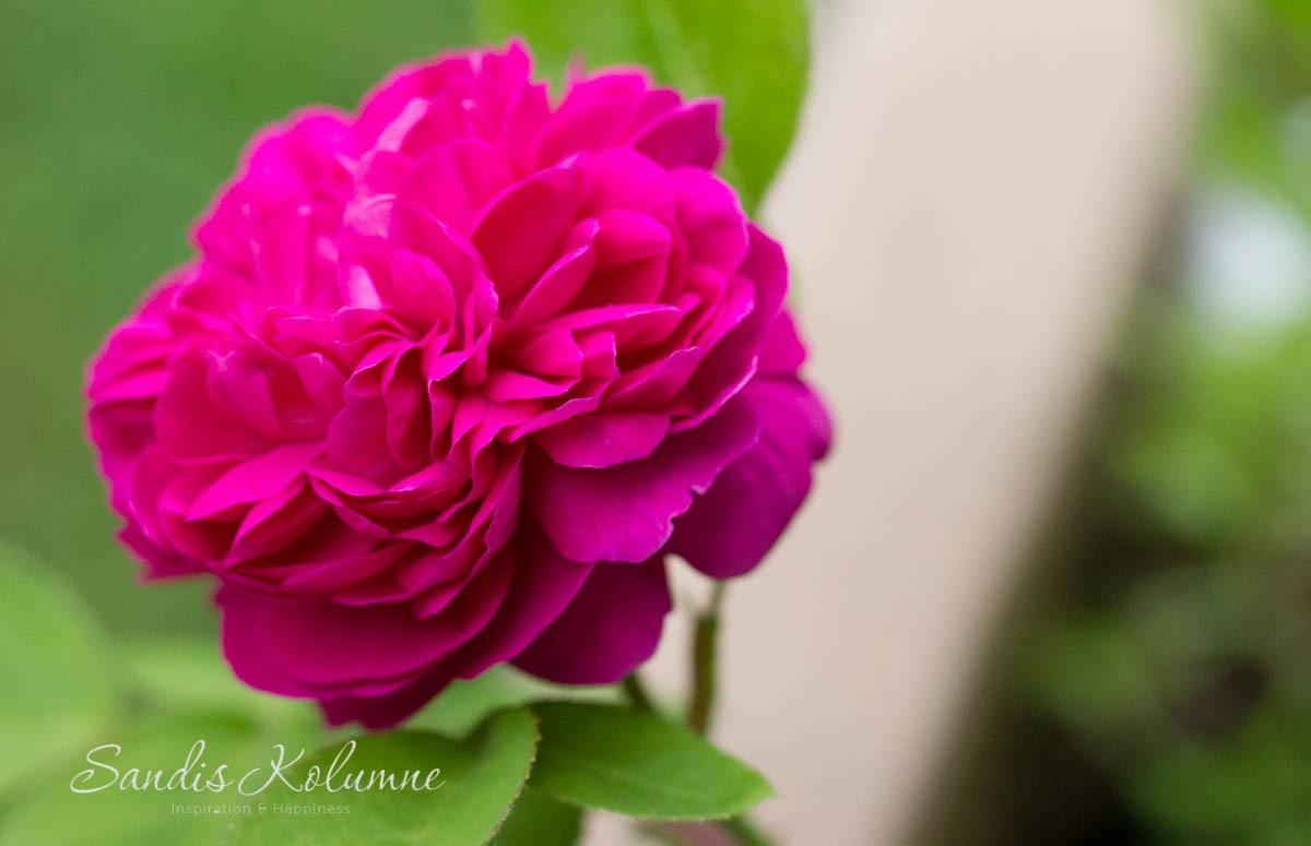 Rose de Resht 5