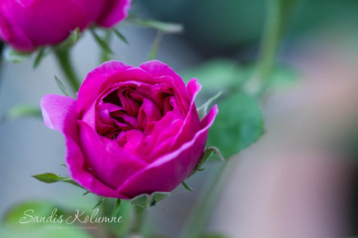 Rose de Resht 2