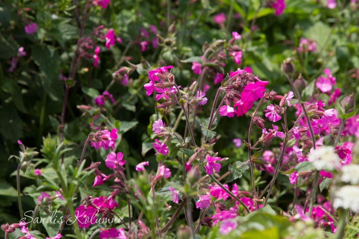 Rosa Blüten in Cornwall