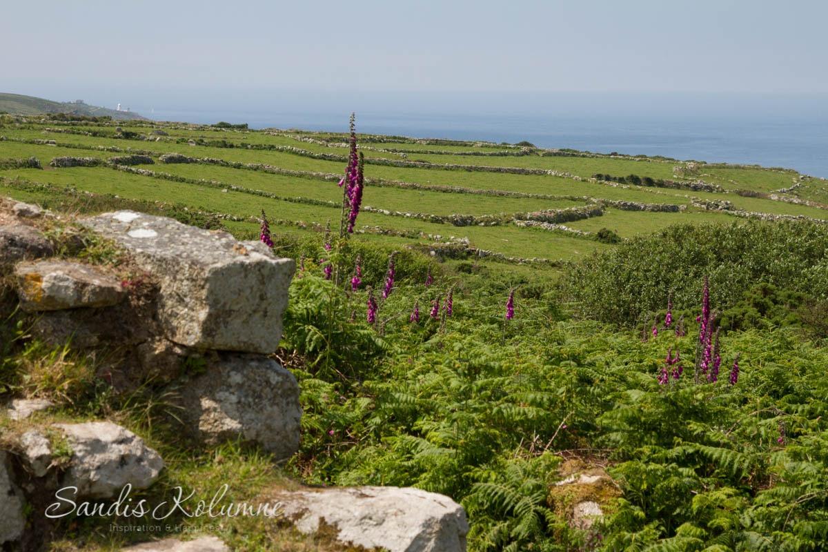 Wilder Fingerhut irgendwo in Cornwall