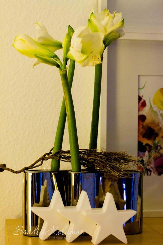 Amaryllis aufgeblüht 2