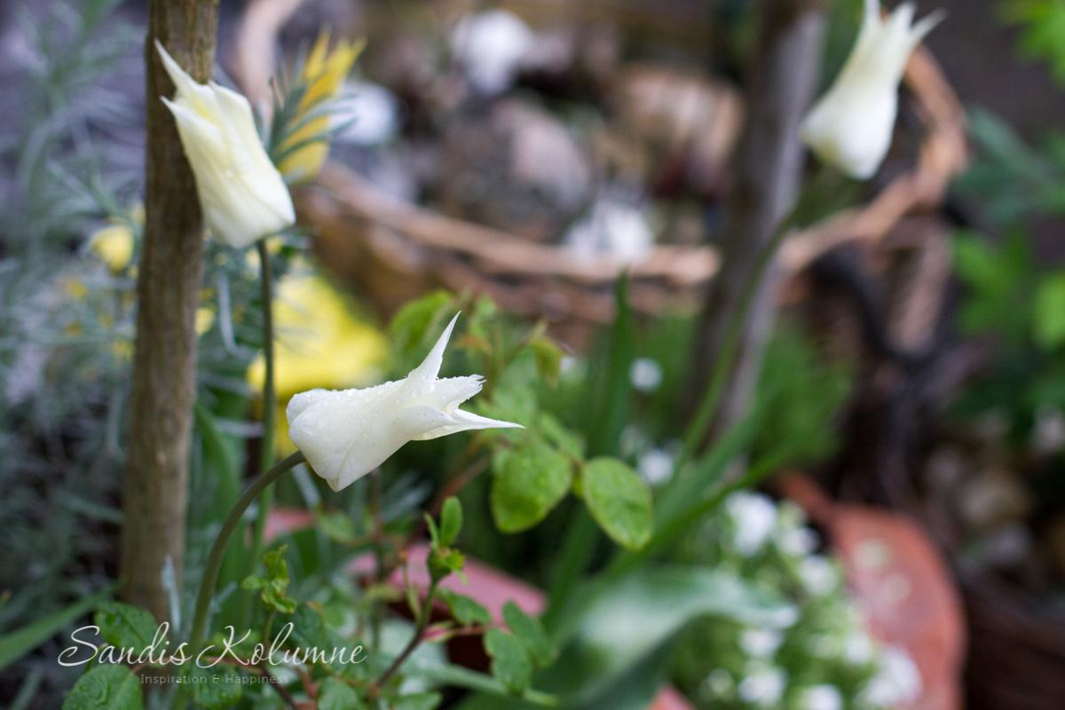 Tulpe White Triumphator 2015_2