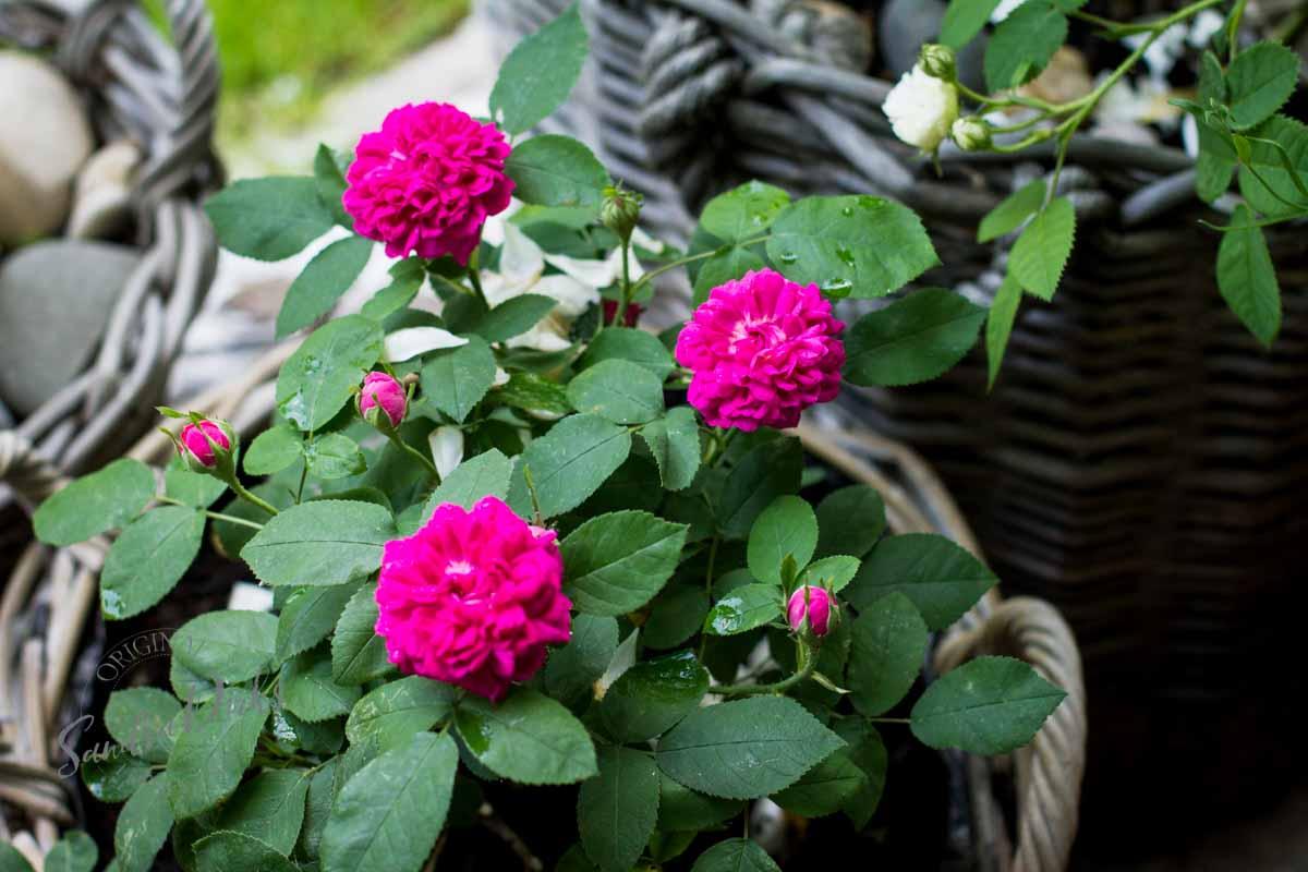 Friday Flowerday Rosenernte (23 von 36)
