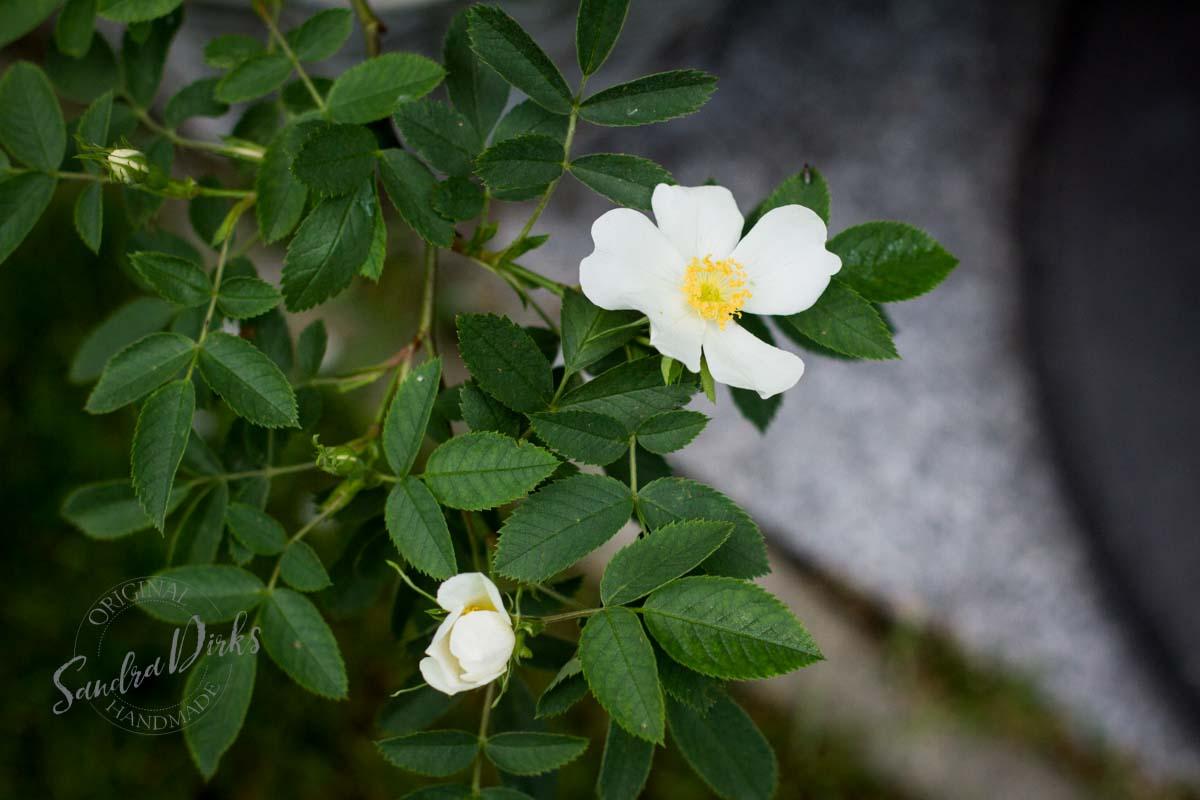 Friday Flowerday Rosenernte (24 von 36)