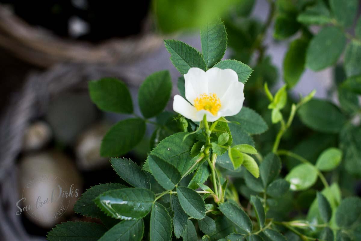 Friday Flowerday Rosenernte (26 von 36)