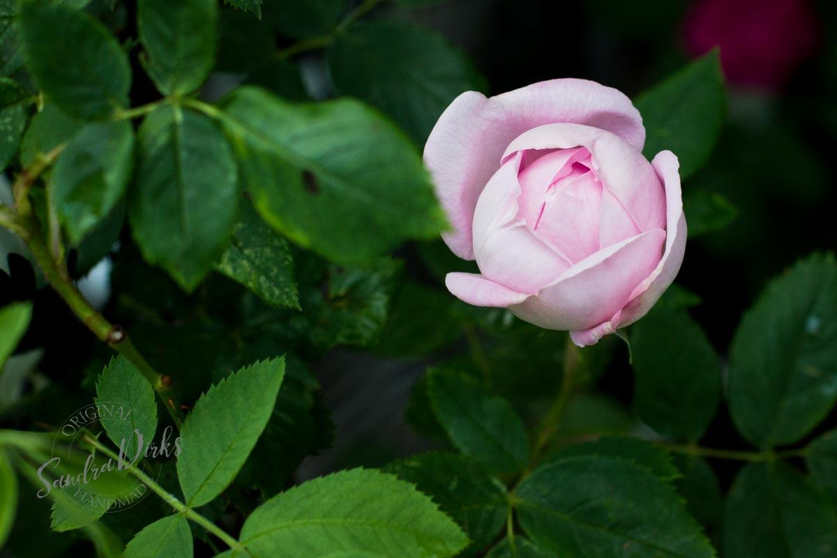 Friday Flowerday Rosenernte (28 von 36)
