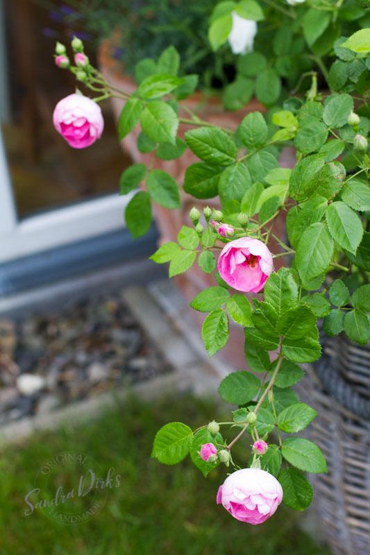 Friday Flowerday Rosenernte (30 von 36)