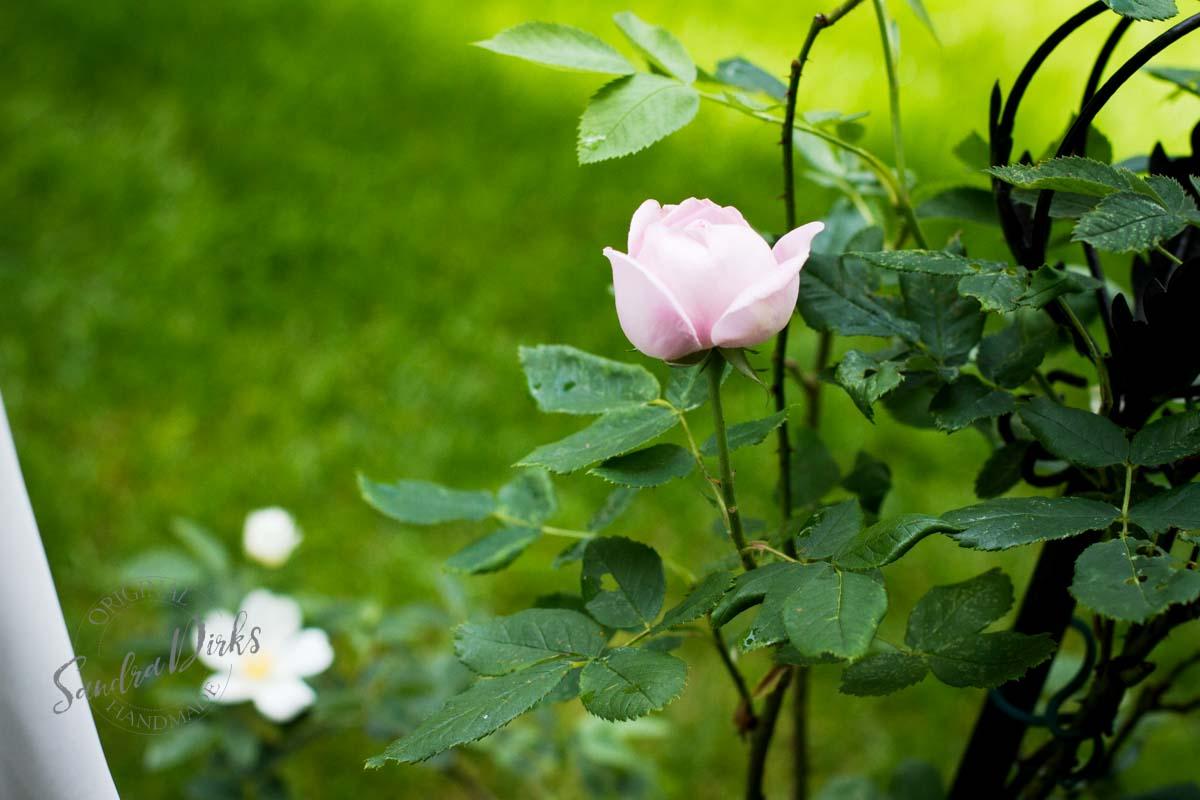 Friday Flowerday Rosenernte (33 von 36)