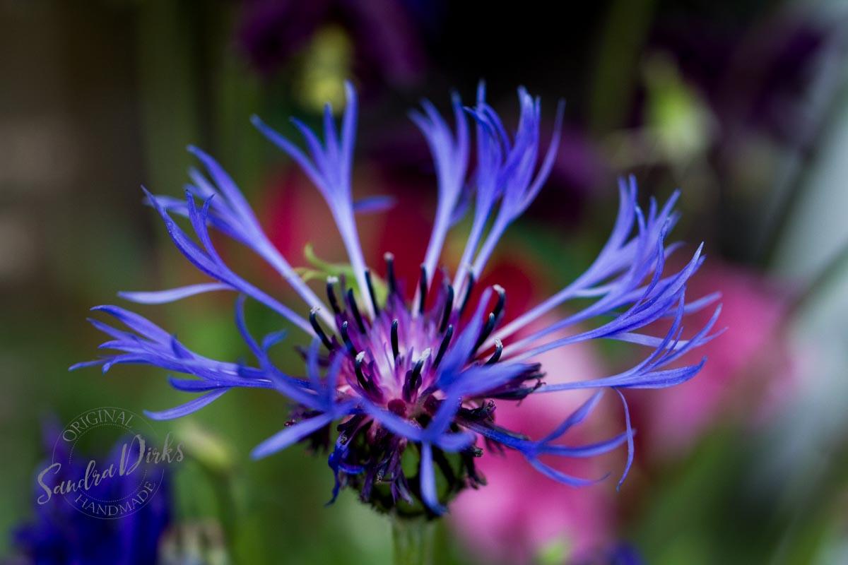 Friday Flowerday Schwiegermutterblumen Foto 3- Sandra Dirks