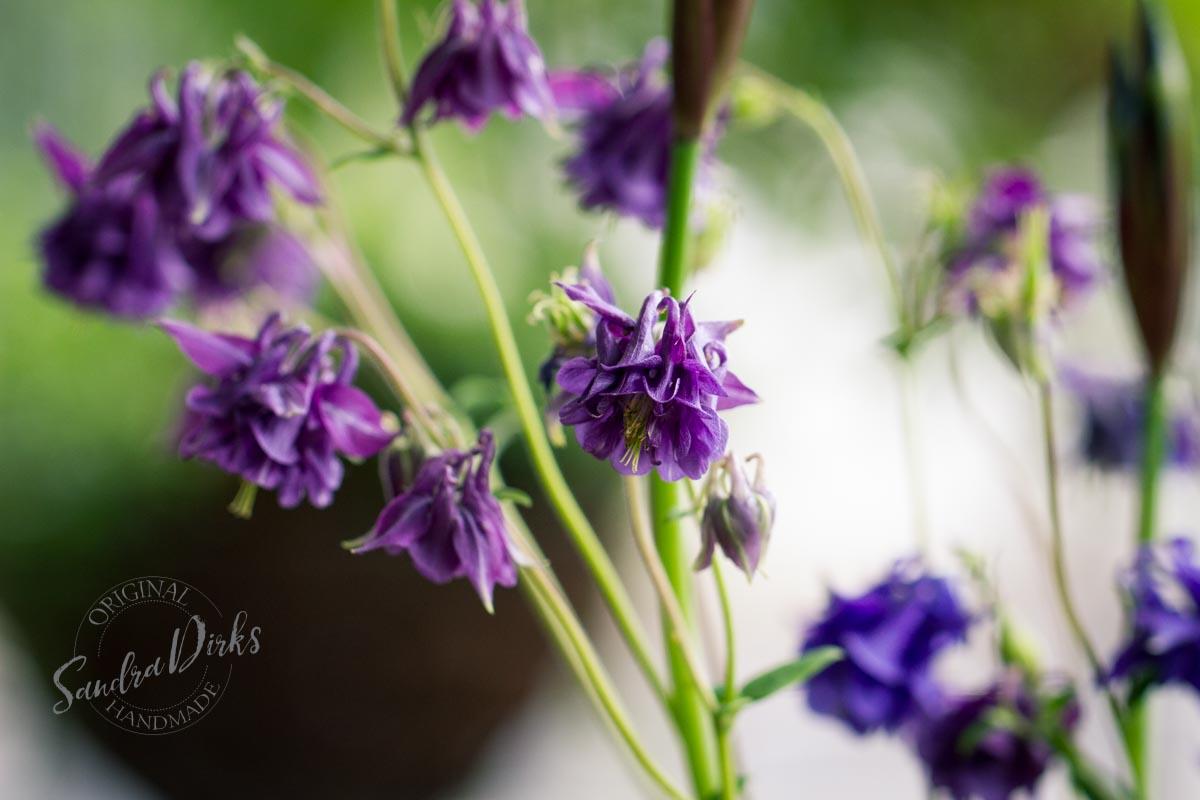 Friday Flowerday Schwiegermutterblumen Foto 4- Sandra Dirks