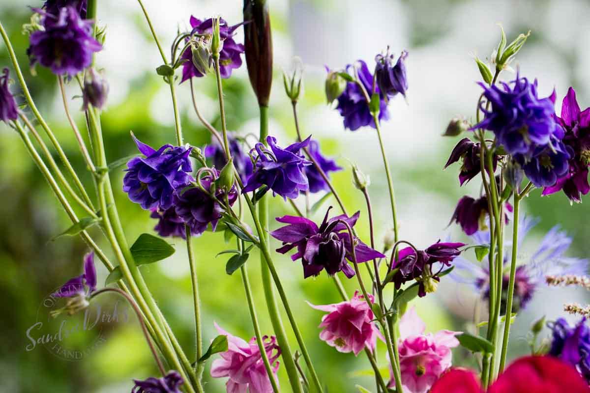 Friday Flowerday Schwiegermutterblumen Foto 7 - Sandra Dirks