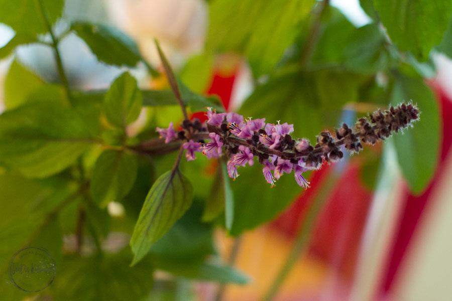 Sandra Dirks - FlowerFriday blühender roter Basilikum